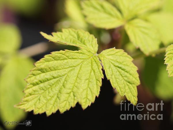 Wild Black Raspberry Leaves Print by J McCombie