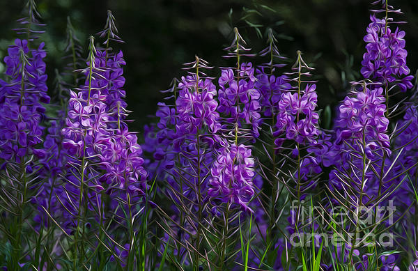 Bob Christopher - Wild Flowers Fireweed 1