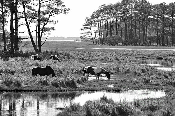 Wild Horses Of Assateague Feeding Print by Dan Friend