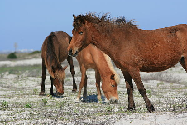 Marty Fancy - Wild Horses of Shackleford Banks