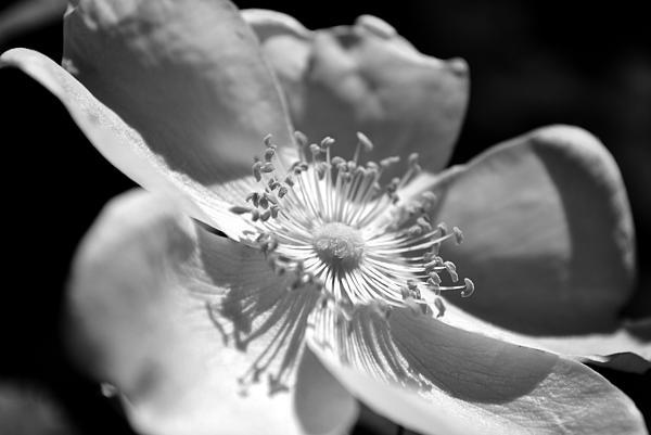 Wild Rose Print by Kelly Nowak