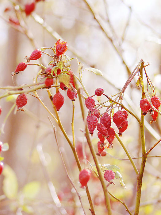 Pamela Patch - Wild Rosehips in Winter