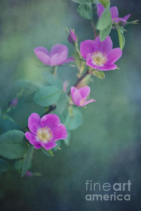Wild Roses Print by Priska Wettstein