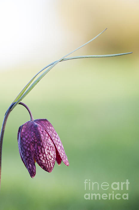Wildflower Snakes Head Fritillary Print by Tim Gainey