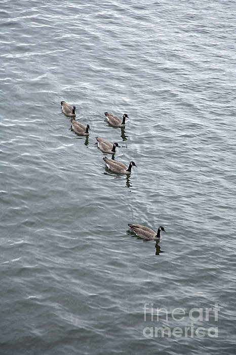 Willamette River Ducks Print by Peter French