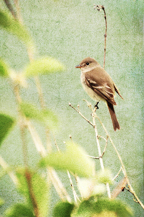 Jess Williams - Willow Flycatcher