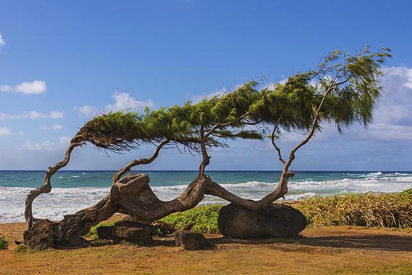 Wind Blown Tree 2 - Kauai Hawaii Print by Brian Harig