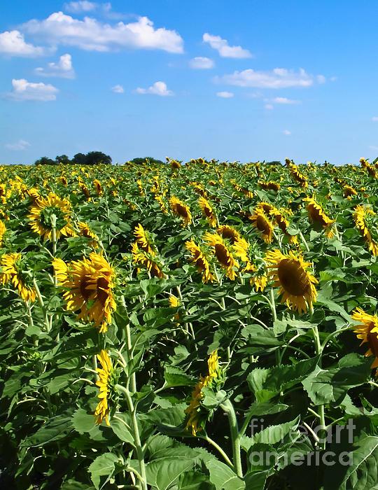 Windblown Sunflowers Print by Robert Frederick