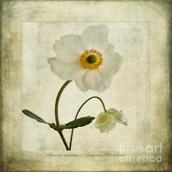 Windflowers Print by John Edwards