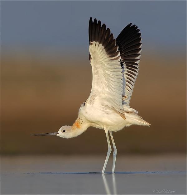 Wing Stretch Print by Daniel Behm