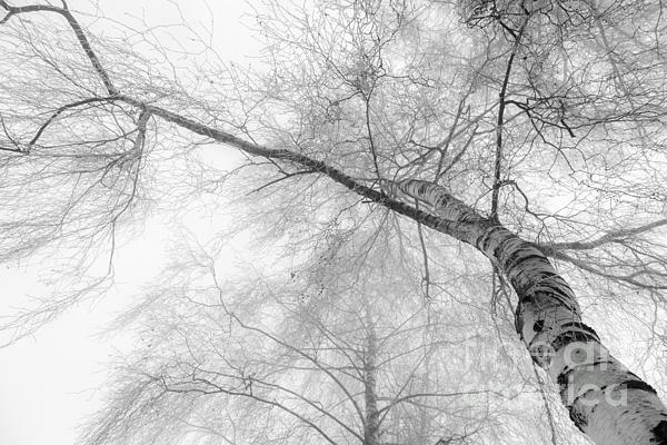 Winter Birch - Bw Print by Hannes Cmarits