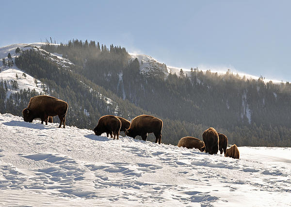 Winter Bison Herd In Yellowstone Print by Bruce Gourley