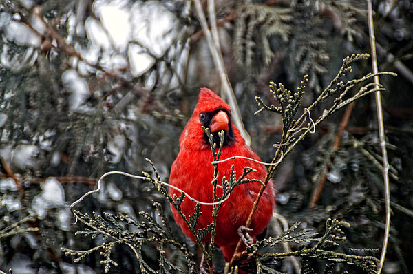 Winter Cardinal 03 Print by Thomas Woolworth