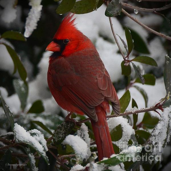 Renee Patterson - Winter Cardinal