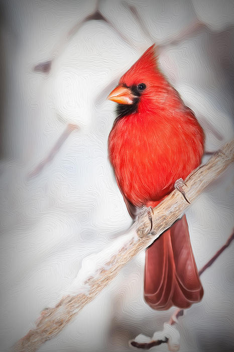 Winter Northern Cardinal Print by Jana Thompson