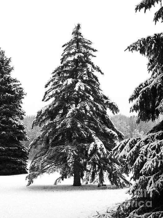 Winter Pines Print by Ann Horn