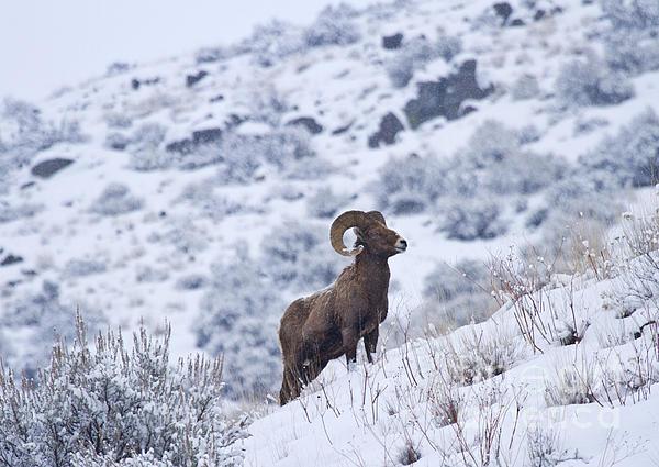 Winter Ram Print by Mike  Dawson