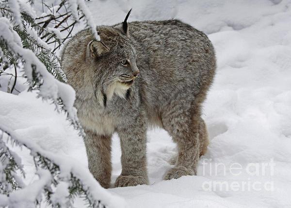 Inspired Nature Photography By Shelley Myke - Winter Splendor- Canadian Lynx