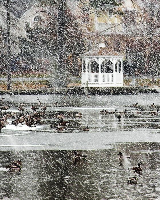 Wintering Ducks On Silver Lake Print by Kim Bemis