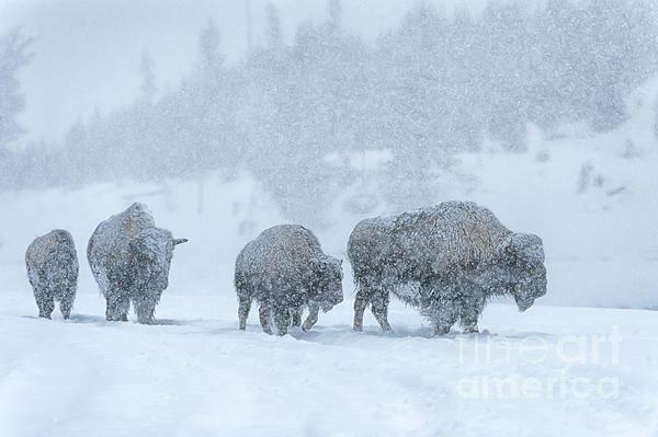 Winter's Burden Print by Sandra Bronstein