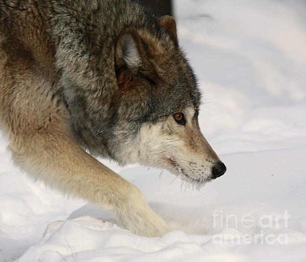 Wolf Dreams Print by Inspired Nature Photography By Shelley Myke