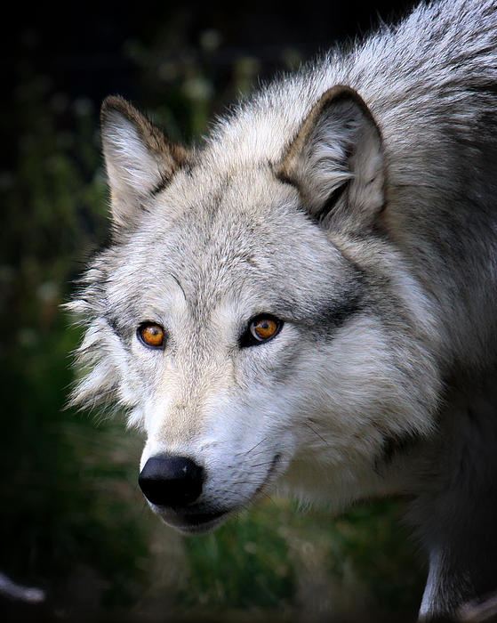 Steve McKinzie - Wolf Stare