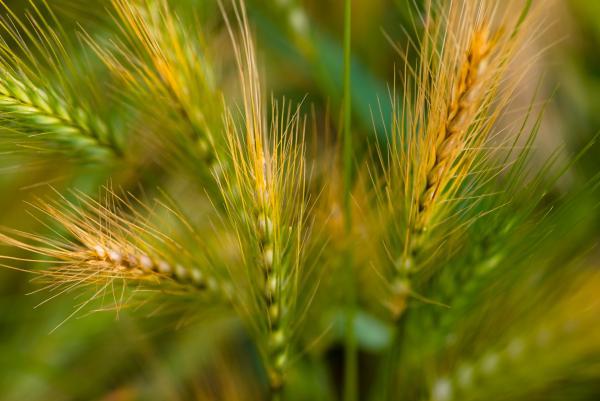 Wonderous Wild Wheat Print by Venetta Archer