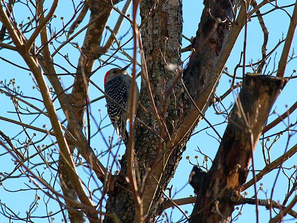 Woodpecker Print by Carolyn Ricks