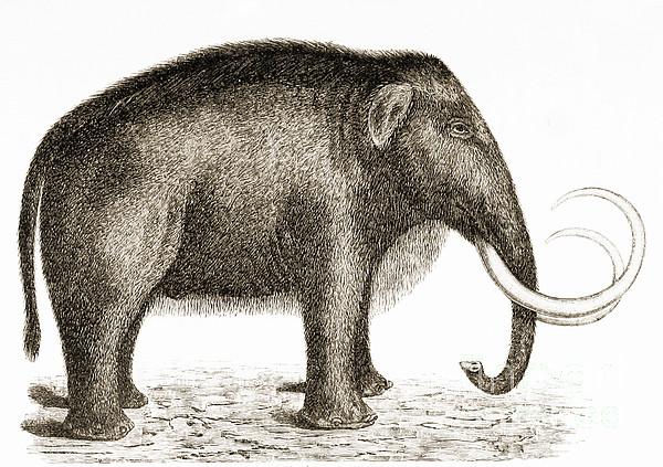 Woolly Mammoth Print by British Library