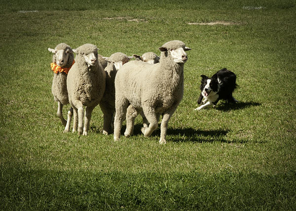 Daniel Hebard - Working Australian Sheepdog