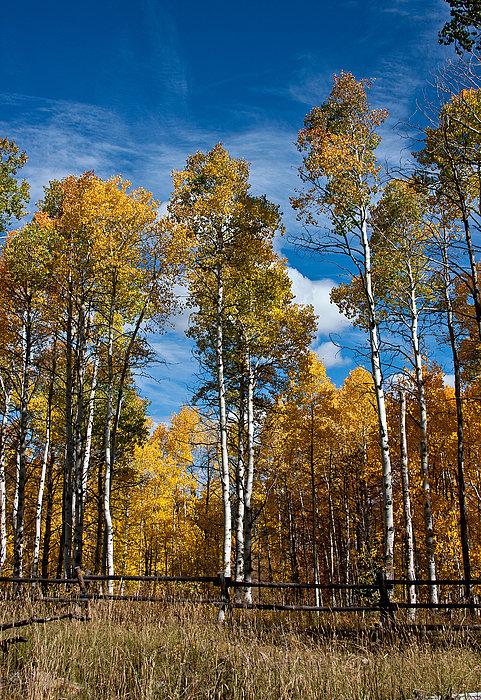 Wyoming Golden Fall Aspens Print by John Haldane