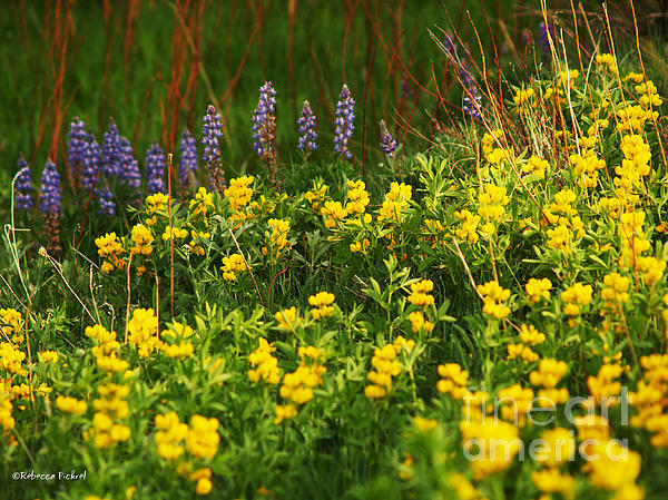 Wyoming Wildflowers Print by Rebecca Pickrel