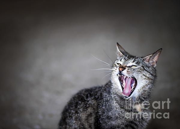 Yawning Cat Print by Elena Elisseeva