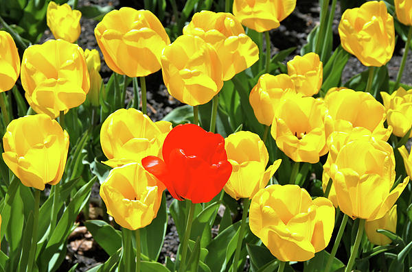 Ed  Riche - Yellow and One Red Tulip