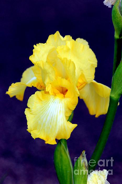 Yellow Bearded Iris Print by Kathy  White