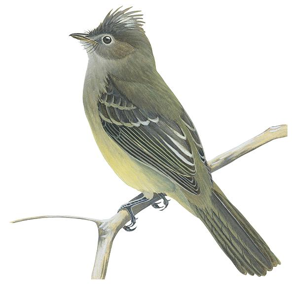 Yellow Bellied Elaenia  Print by Anonymous