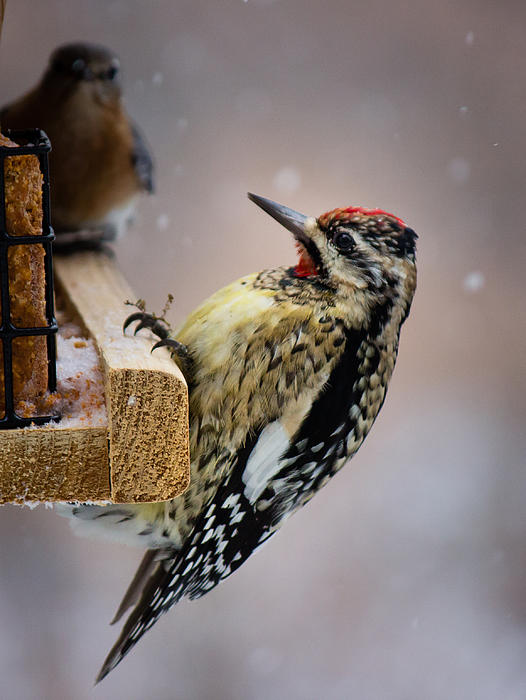 Christy Cox - Yellow-bellied Sapsucker