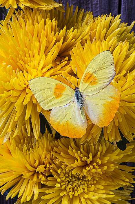 Yellow Butterfly On Yellow Mums Print by Garry Gay