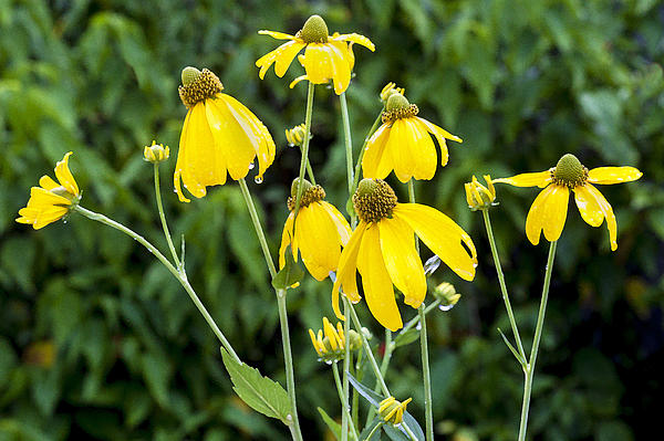 Yellow Cone Flowers Rudbeckia Print by Rich Franco