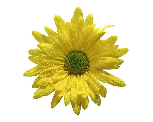 Yellow Daisy  Print by Mauro Celotti