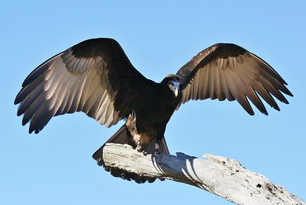 Yellow Headed Vulture Print by Paulette Thomas