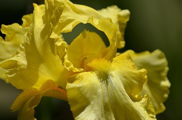 Yellow Iris Swirl Print by Maria Urso