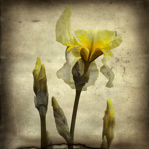 Gothicolors Donna Snyder - Yellow Iris - Vintage colors