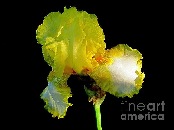 Irina Hays - Yellow on Black