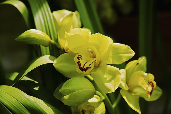 Yellow Orchid Print by Terry Horstman