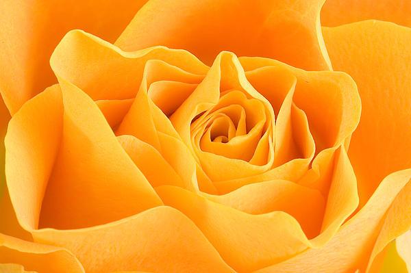 Yellow Rose Print by Tilen Hrovatic