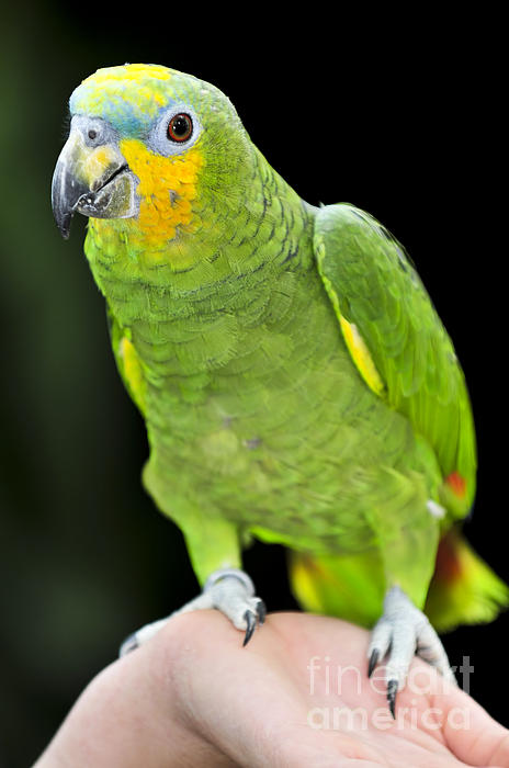 Yellow-shouldered Amazon Parrot Print by Elena Elisseeva
