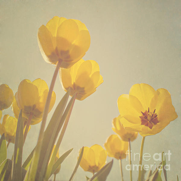 Yellow Tulips Print by Diana Kraleva