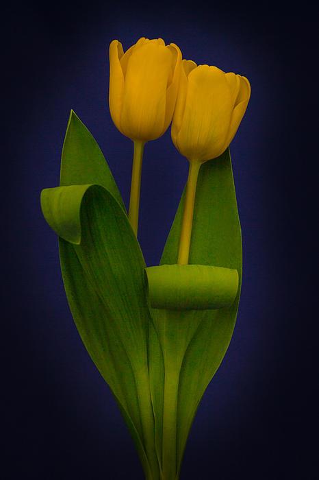 Yellow Tulips On A Blue Background Print by Eva Kondzialkiewicz