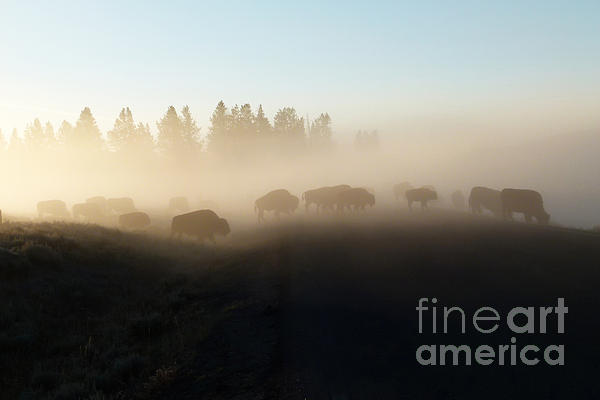 Bob and Nancy Kendrick - Yellowstone Bison in Early Morning Fog